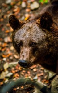 Large Brown Black Bear