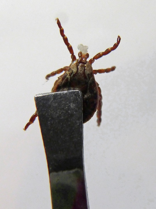How to get a tick out after it is embedded